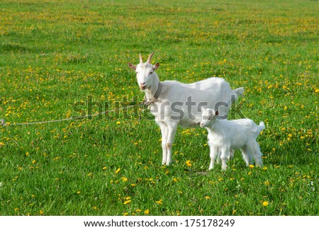 Goat with kid - stock photo
