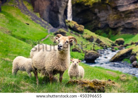 Goat with two babies on a green lawn. Colorful summer morning in Iceland, Europe.  - stock photo