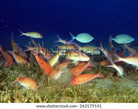 Goatfish feeding frenzy - stock photo