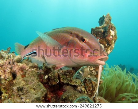 Goatfish getting cleaned by a cleaner wrasse