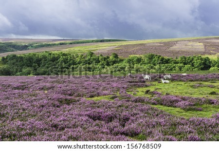 Goathland, Yorkshire, UK. Heather in bloom as sheep graze over the rugged North York Moors National Park near Goathland, Yorkshire, UK.
