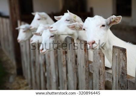 goats - stock photo