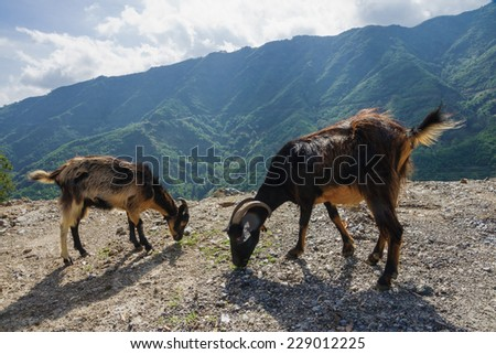 Goats and Corsican landscape, near the Alesani River and road D71, in Haute-Corse, Corsica, France