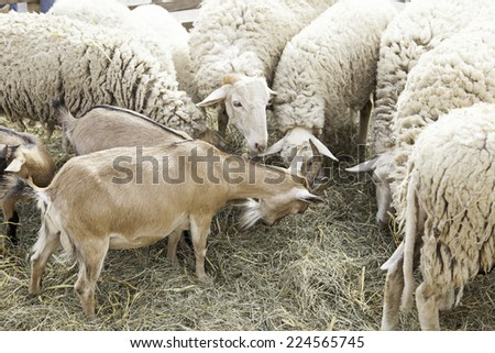 Goats and sheep in farm animals, agriculture and nature - stock photo