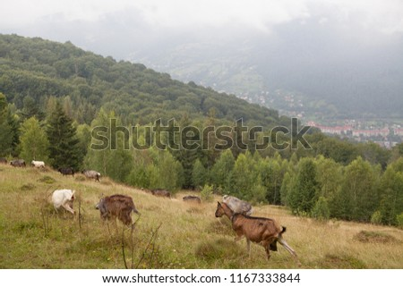 Goats and sheeps graze on a green hill in the Carpathian mountains