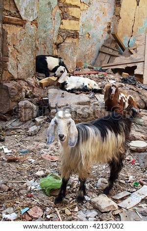 goats eating anything the rubbish and rubble of Islamic cairo