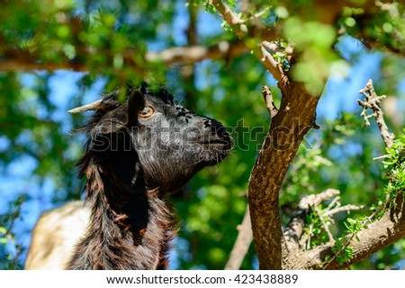 Goats eating from an Argan tree in southern Morocco. - stock photo