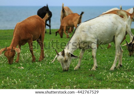 Goats eating grass,Goat on a pasture,Goat on a pasture of songkhla thailand