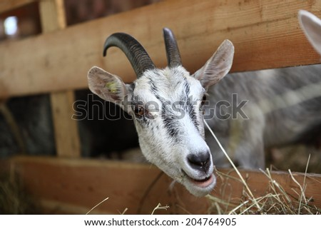 Goats eating hay on the farm - stock photo
