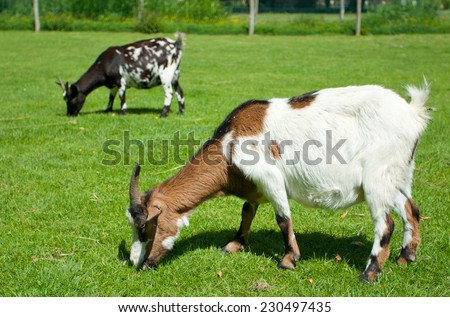 Goats feeding on green grass - stock photo