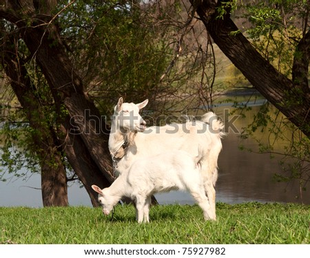 Goats grazing in the meadow - stock photo