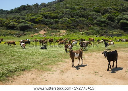 Goats grazing in the meadow, Skiathos, Greece - stock photo