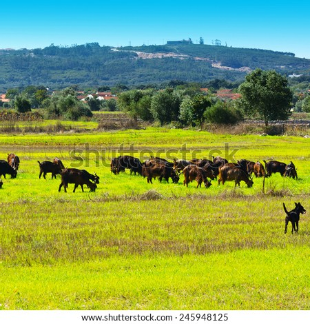 Goats Grazing on Green Pasture in Portugal - stock photo