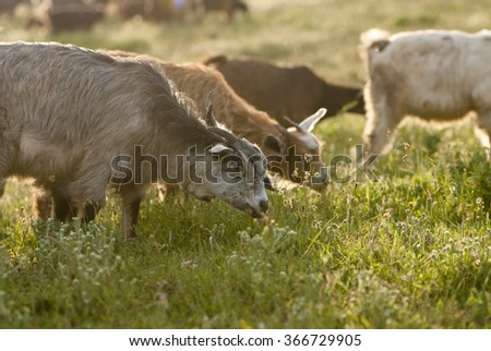 goats grazing on the field