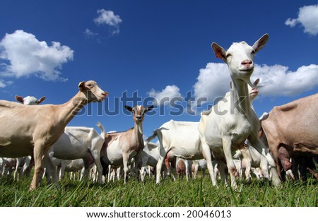 goats in a field, seen from below