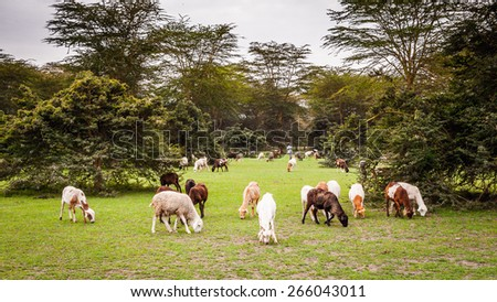 Goats in Kenya, Africa - stock photo