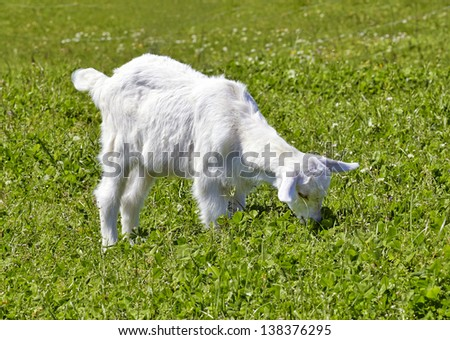 Goats in the grass - stock photo