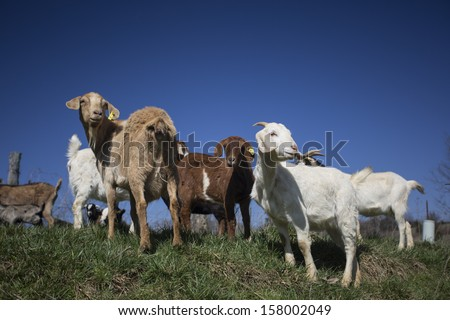 Goats on a farm looking in the distance - stock photo