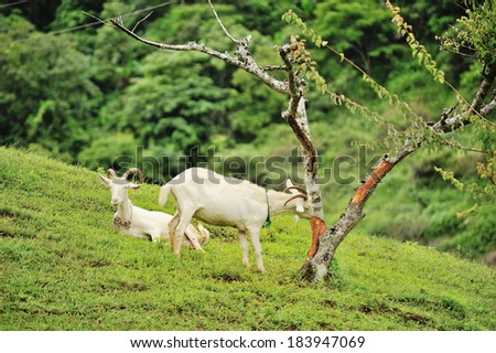 Goats on a green lawn - stock photo