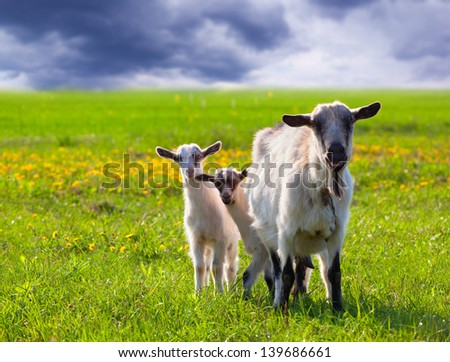 Goats on a green lawn at summer - stock photo
