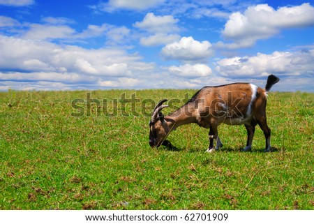 goats on the meadow - stock photo