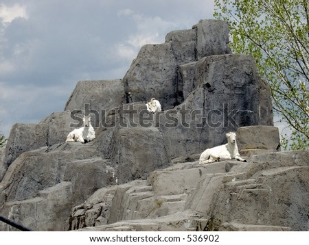 goats on the rock