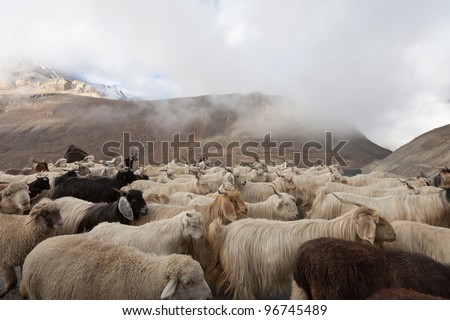 Goats on tht road in Himalayas Mountains