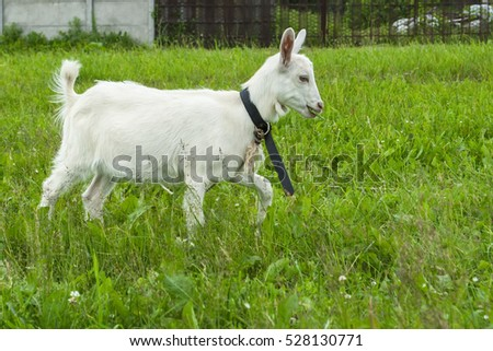 goats playing on the green grass