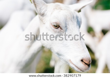 Goats relaxing on a summers day at a farm - stock photo