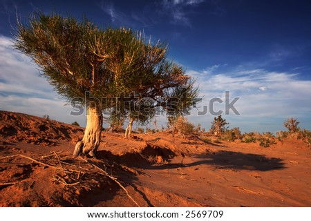 Gobi tree on sunset - stock photo