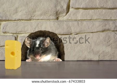 goes out from hole in house mouse - stock photo
