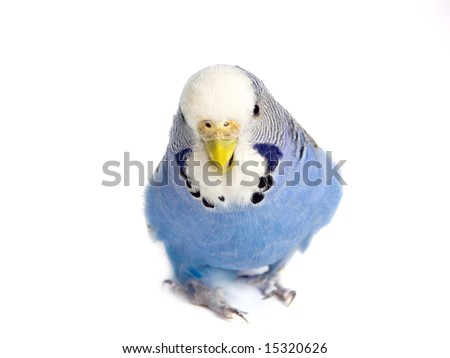 going budgie in front of a white background - stock photo