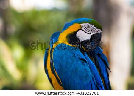 Gold and Blue Macaw Grooming on a branch - stock photo