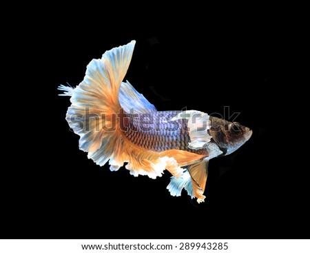 Sweet dream Black betta fish