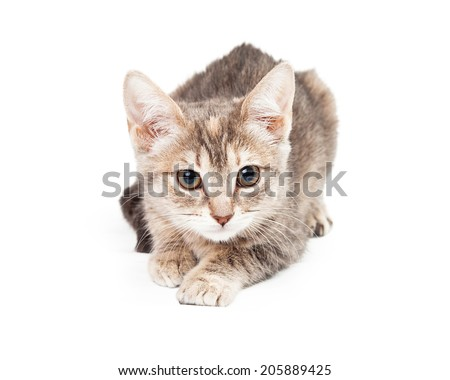 Gold and white kitten laying, facing front, looking into the camera, paw stretched out in front