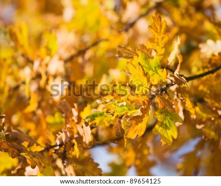 Gold autumn colors of oak leaves - stock photo