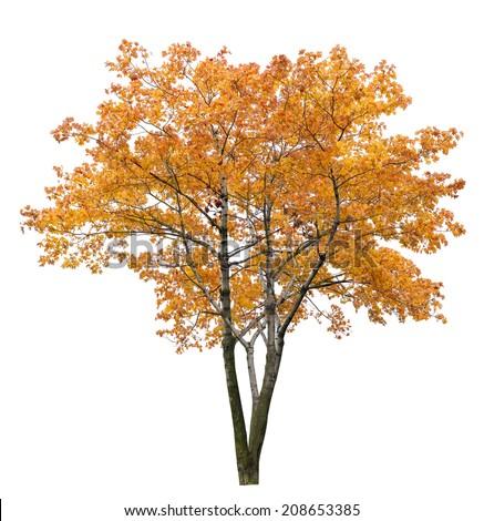 gold autumn maple tree isolated on white background - stock photo
