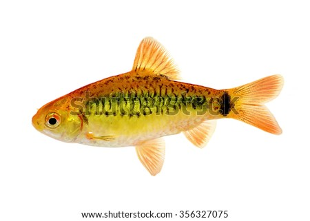 Barb fish stock photos images pictures shutterstock for Gold barb fish