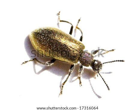 Gold Beetle - stock photo