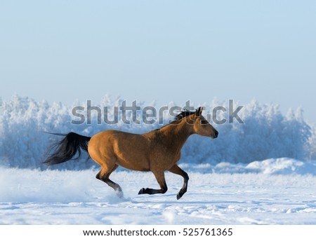 Gold chestnut horse gallops across snowy field. Side view.