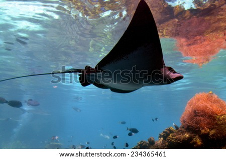 GOLD COAST, AUS -  NOV 06 2014:Eagle-ray. Fatal stings are very rare and most famously in the death of Steve Irwin, in which the stinger penetrated the thoracic wall, causing massive trauma. - stock photo