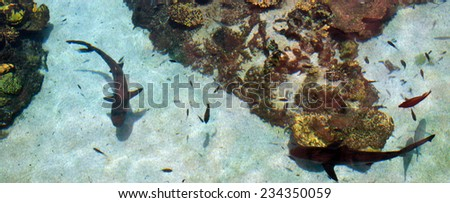 GOLD COAST, AUS -  NOV 06 2014:Gray reef sharks in Sea World Gold Coast Australia.The species is threatened as they are caught in many fisheries and have low reproduction rate and limited dispersal. - stock photo