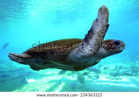 GOLD COAST, AUS -  NOV 1 2014:Green sea turtle in Sea World Gold Coast Queensland Australia.It grow up to 1.5M (5 ft) and can weigh over 300 kg (700 lbs). It's the largest hardshell sea turtle. - stock photo