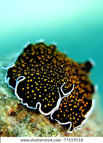 Gold dotted flatworm (Thysanozoon sp.) - stock photo