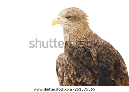 Gold Eagle isolated on a white background. - stock photo