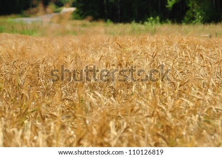 gold ears of wheat