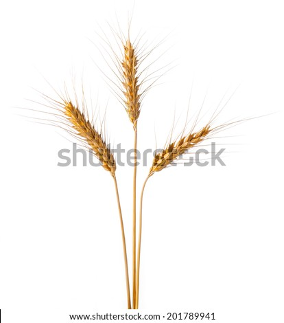 gold ears of wheat - stock photo