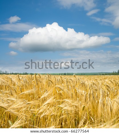 gold ears of wheat under sky - stock photo