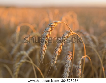 gold ears of wheat under sky, shallow depth of field - stock photo