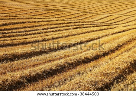 gold field during a sunny summer day - stock photo